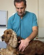 Veterinarian Examines Cocker Spaniel