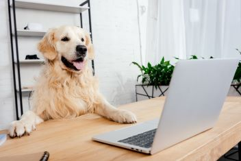 Golden Retriever at desk with laptop