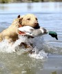 Labrador Retriever with Duck