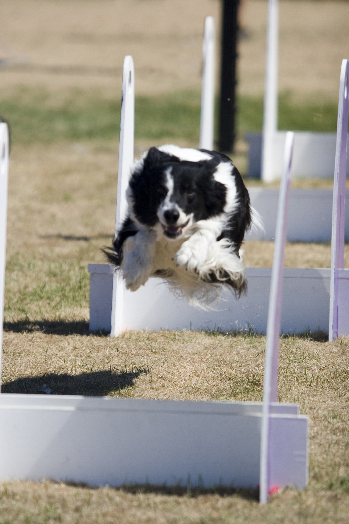 Border Collie Fly Ball