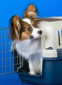 Papillon in Crate